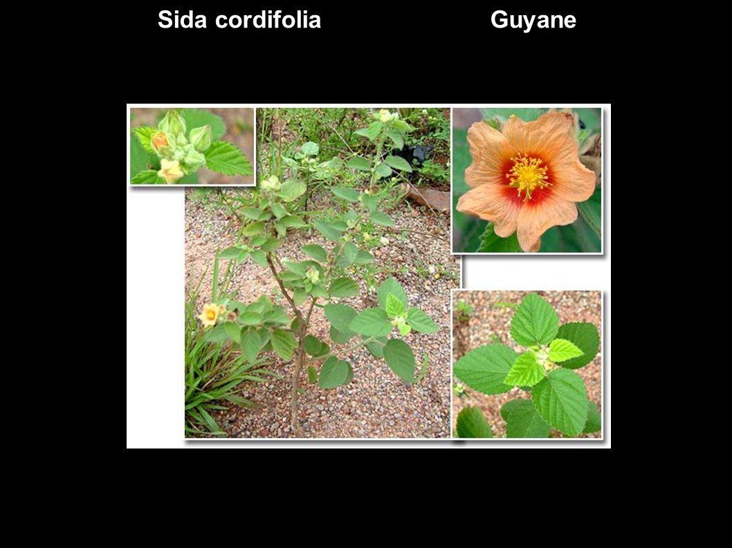 Sida cordifolia Guyane