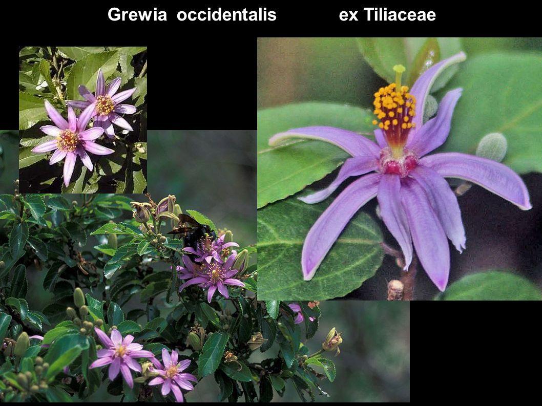 Grewia occidentalis ex Tiliaceae