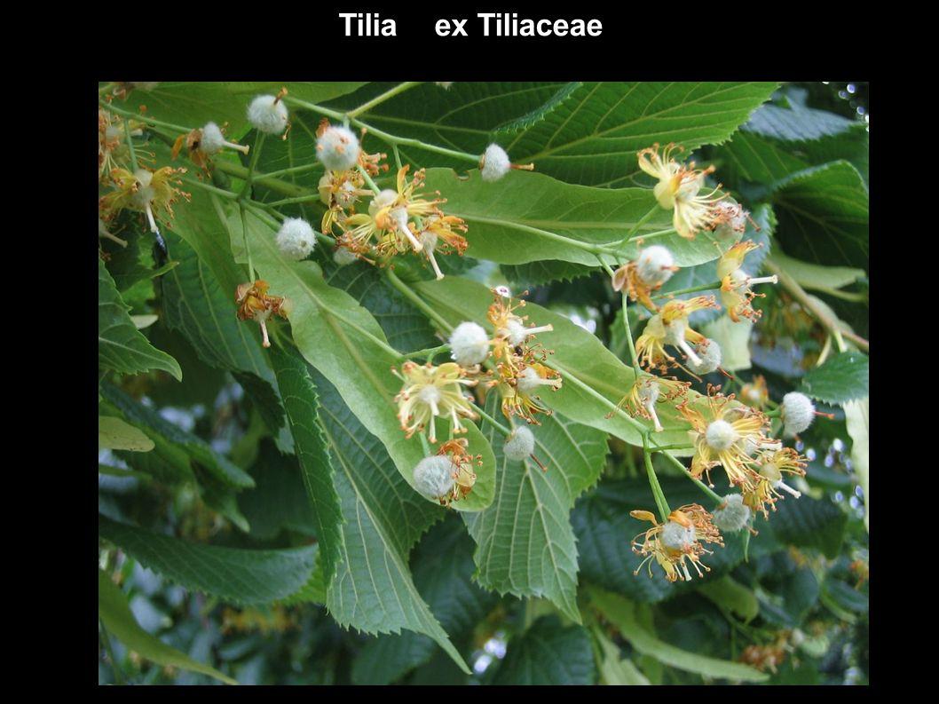 Tilia ex Tiliaceae