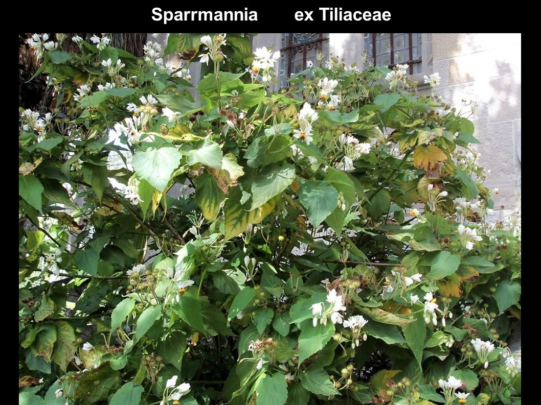 Sparrmannia ex Tiliaceae