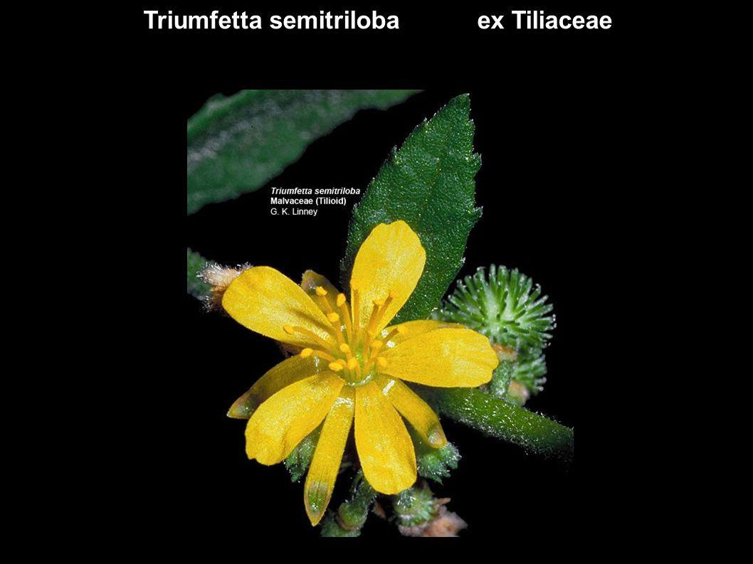 Triumfetta semitriloba ex Tiliaceae