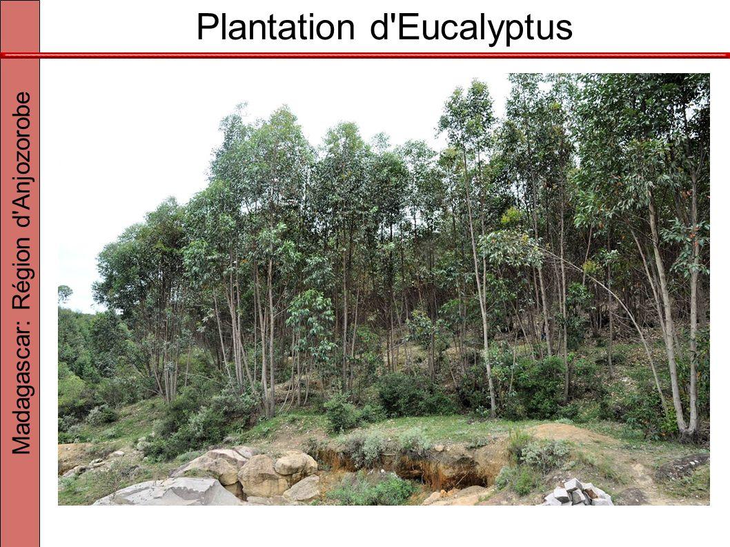 Plantation d Eucalyptus