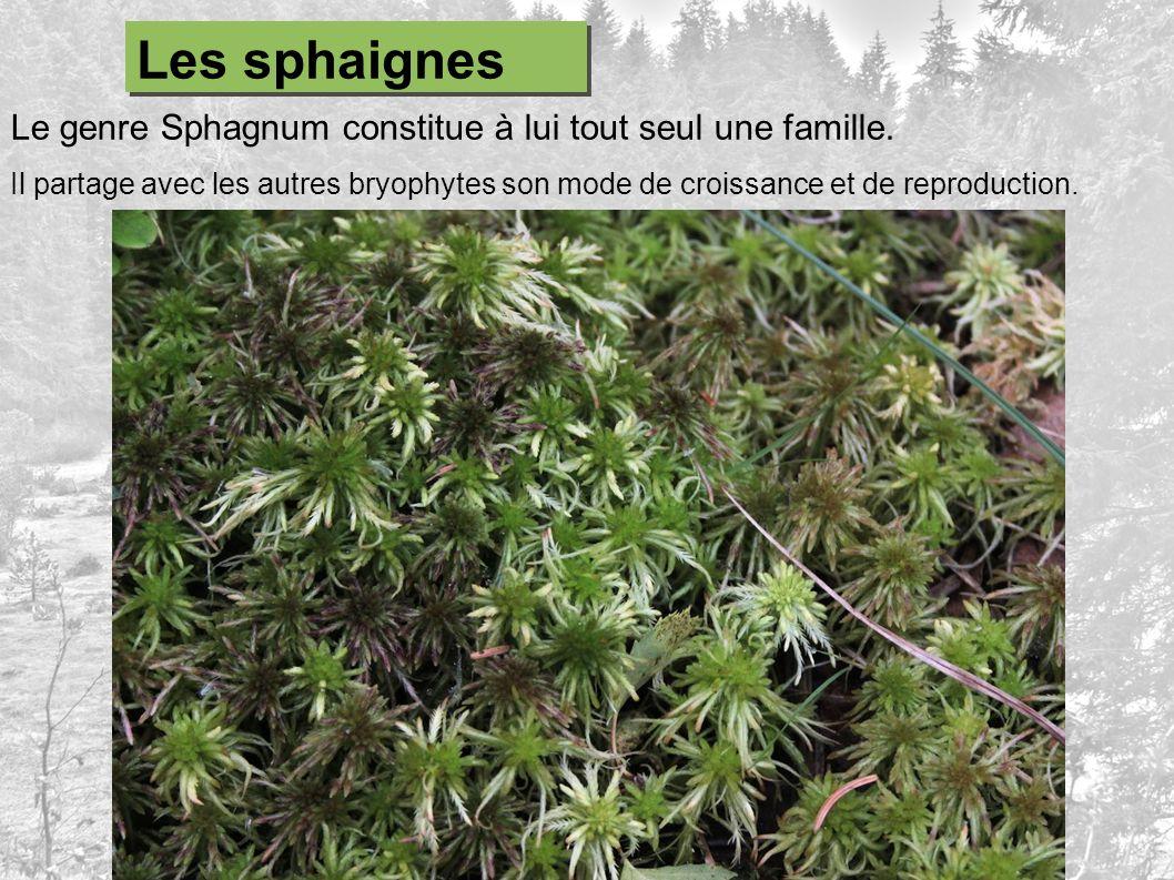 Les sphaignes Le genre Sphagnum constitue à lui tout seul une famille.