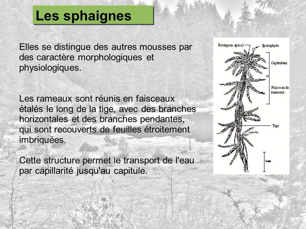 Les sphaignes Elles se distingue des autres mousses par des caractère morphologiques et physiologiques.
