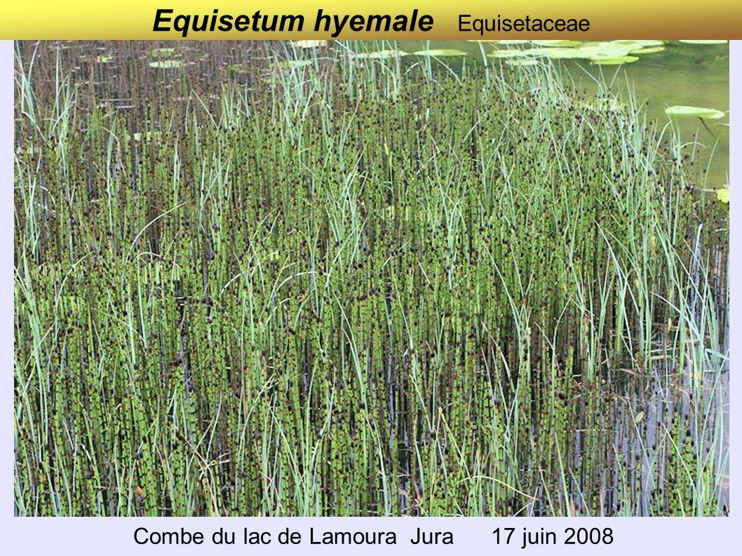 Equisetum hyemale Equisetaceae