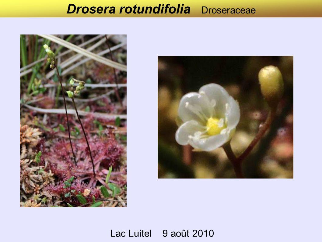 Drosera rotundifolia Droseraceae