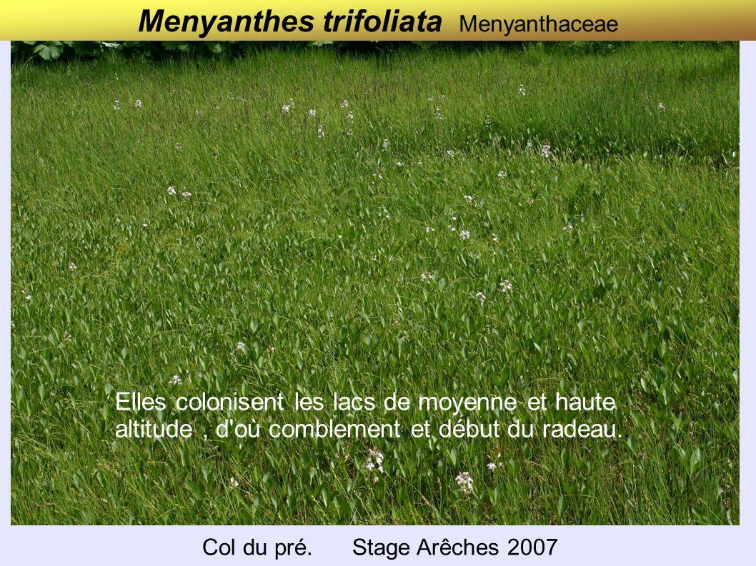 Menyanthes trifoliata Menyanthaceae