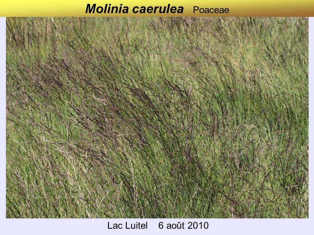 Molinia caerulea Poaceae
