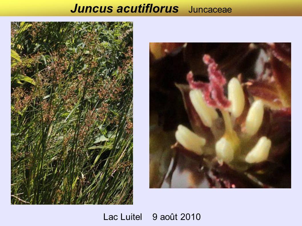 Juncus acutiflorus Juncaceae