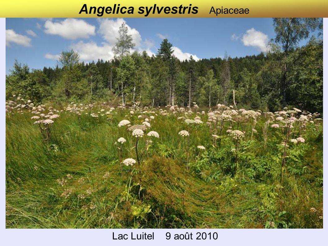 Angelica sylvestris Apiaceae