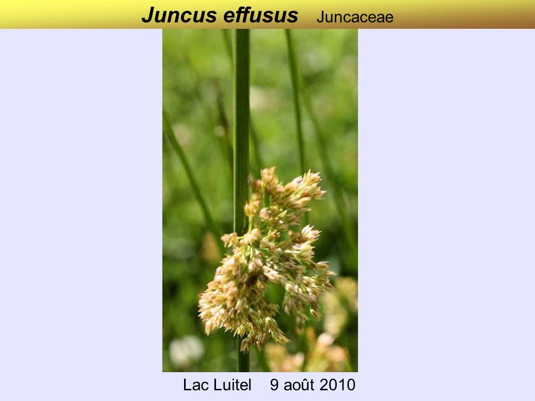 Juncus effusus Juncaceae