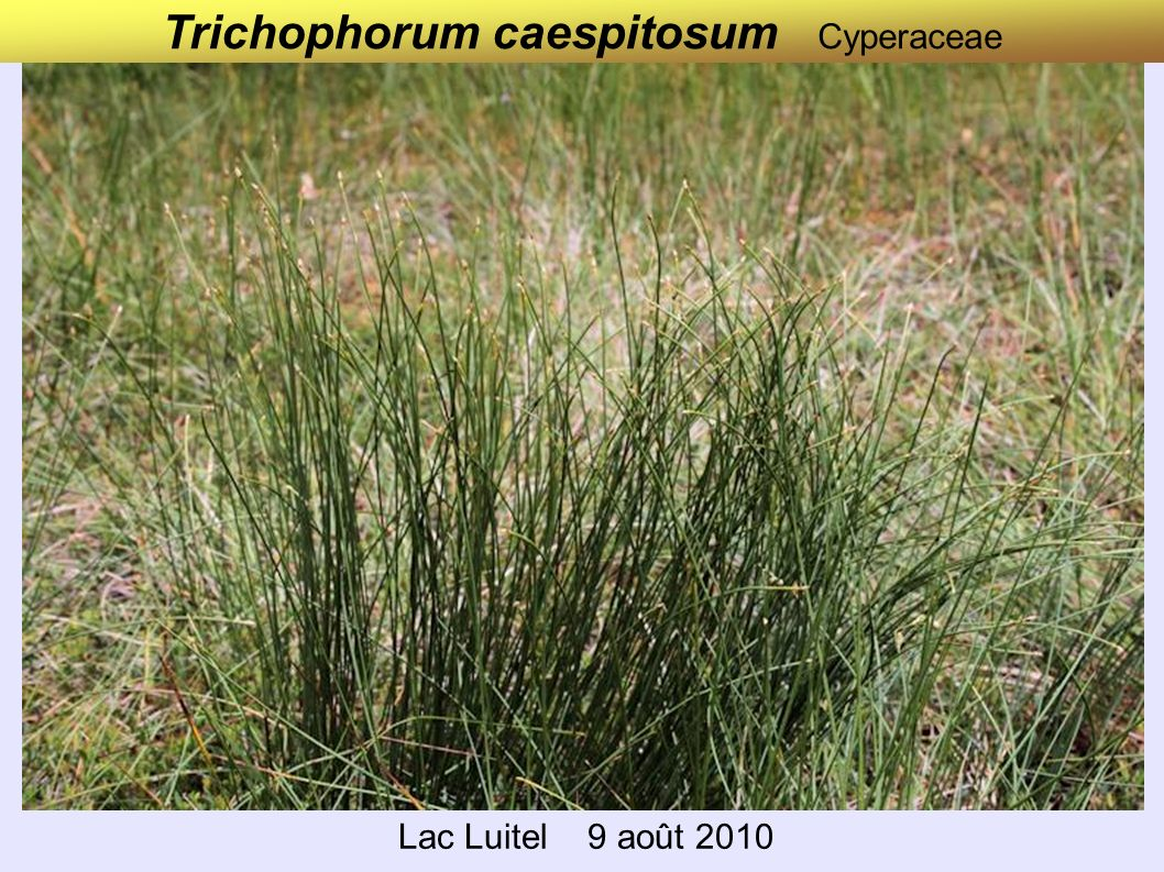 Trichophorum caespitosum Cyperaceae