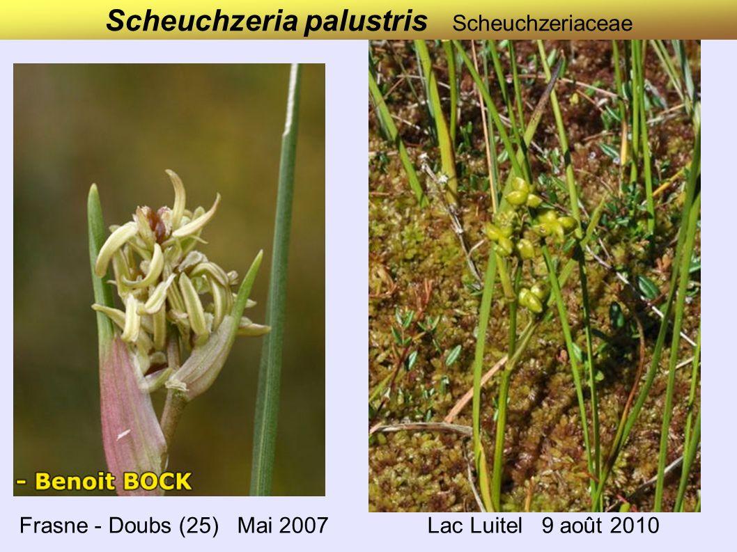Scheuchzeria palustris Scheuchzeriaceae