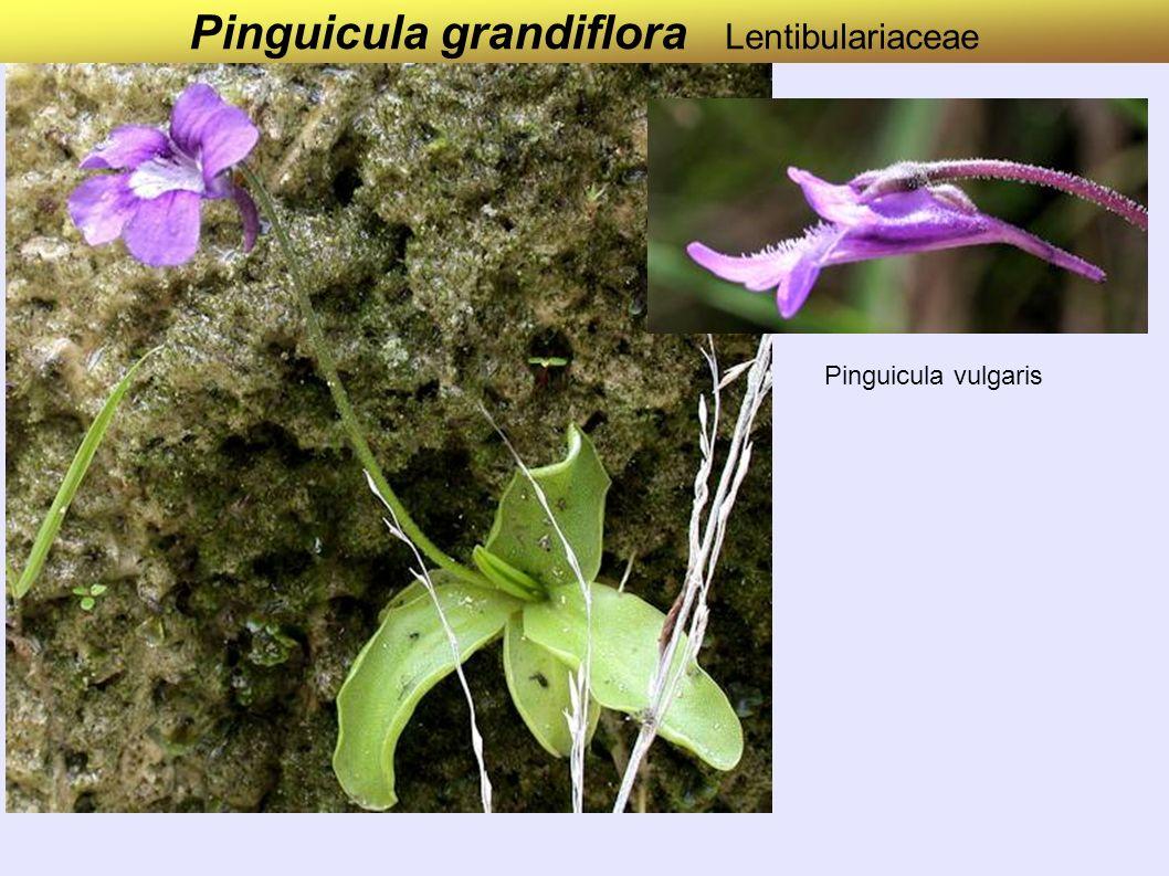 Pinguicula grandiflora Lentibulariaceae