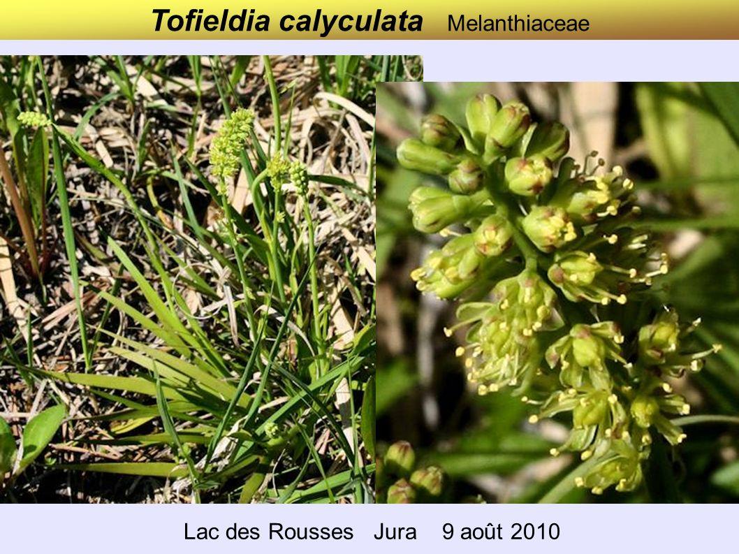 Tofieldia calyculata Melanthiaceae
