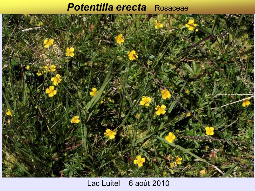 Potentilla erecta Rosaceae