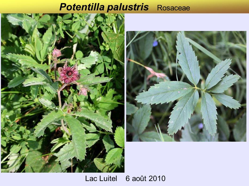 Potentilla palustris Rosaceae