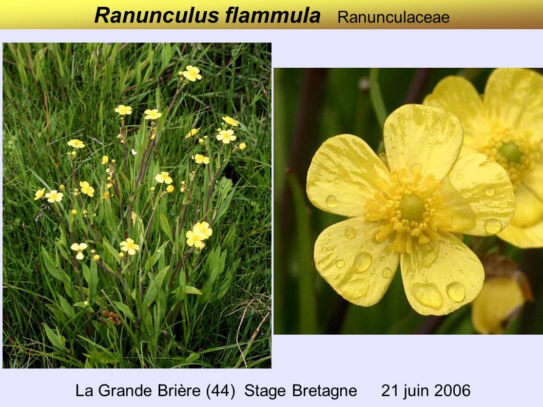 Ranunculus flammula Ranunculaceae