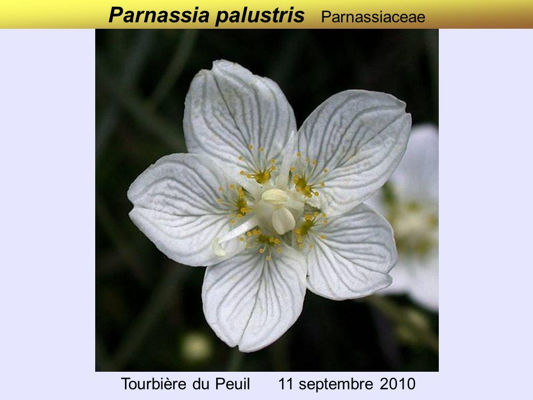 Parnassia palustris Parnassiaceae