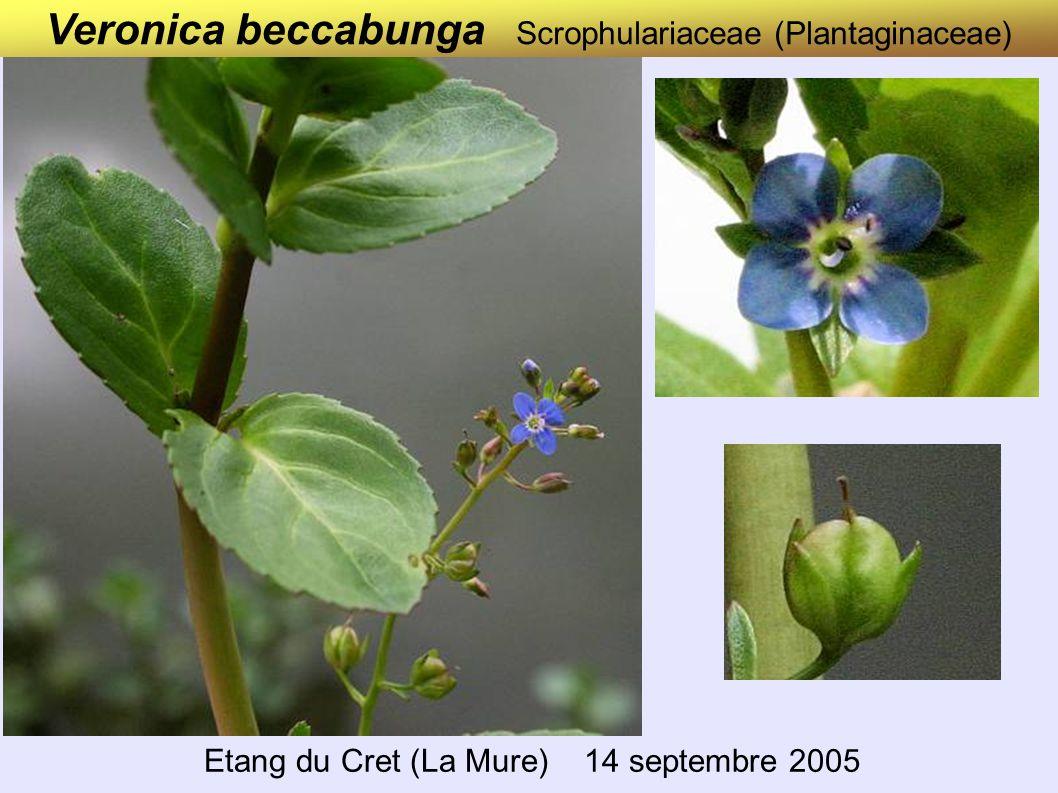 Veronica beccabunga Scrophulariaceae (Plantaginaceae)