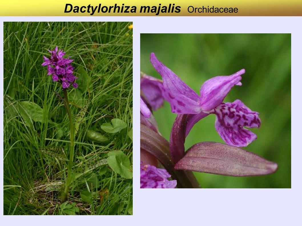 Dactylorhiza majalis Orchidaceae
