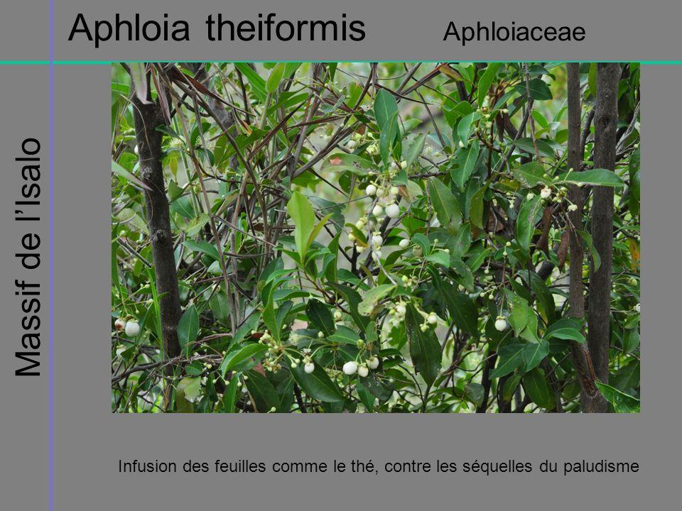 Aphloia theiformis Aphloiaceae