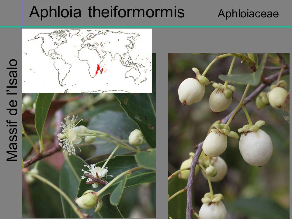 Aphloia theiformormis Aphloiaceae