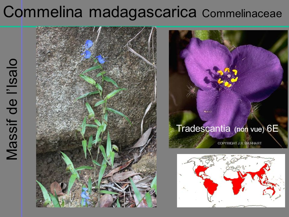 Commelina madagascarica Commelinaceae