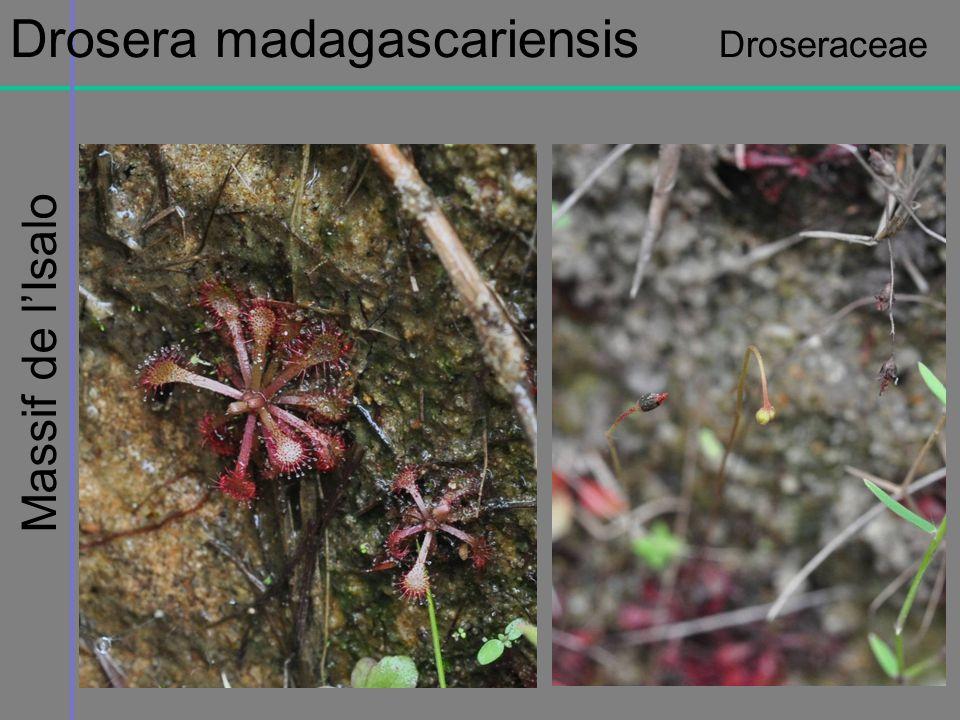 Drosera madagascariensis Droseraceae