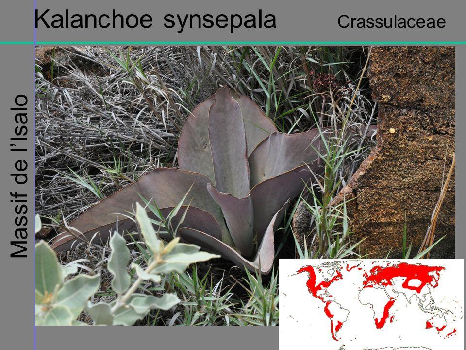 Kalanchoe synsepala Crassulaceae