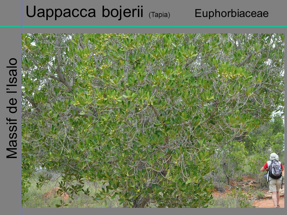 Uappacca bojerii (Tapia) Euphorbiaceae