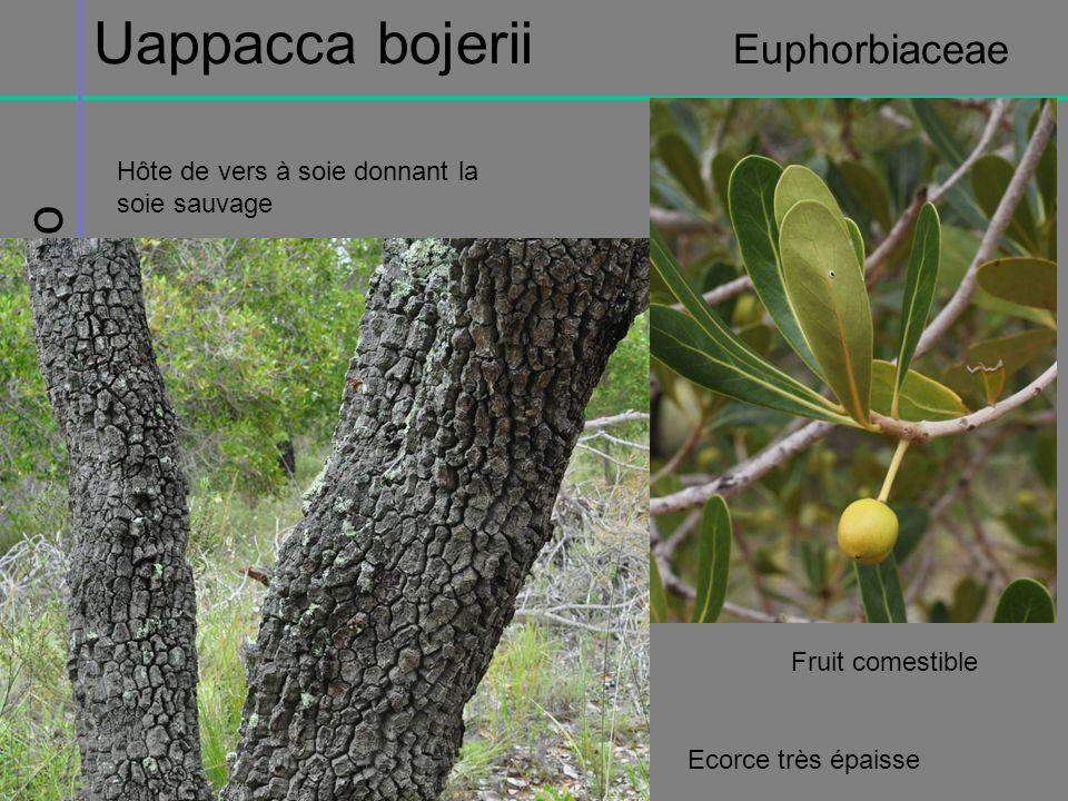 Uappacca bojerii Euphorbiaceae