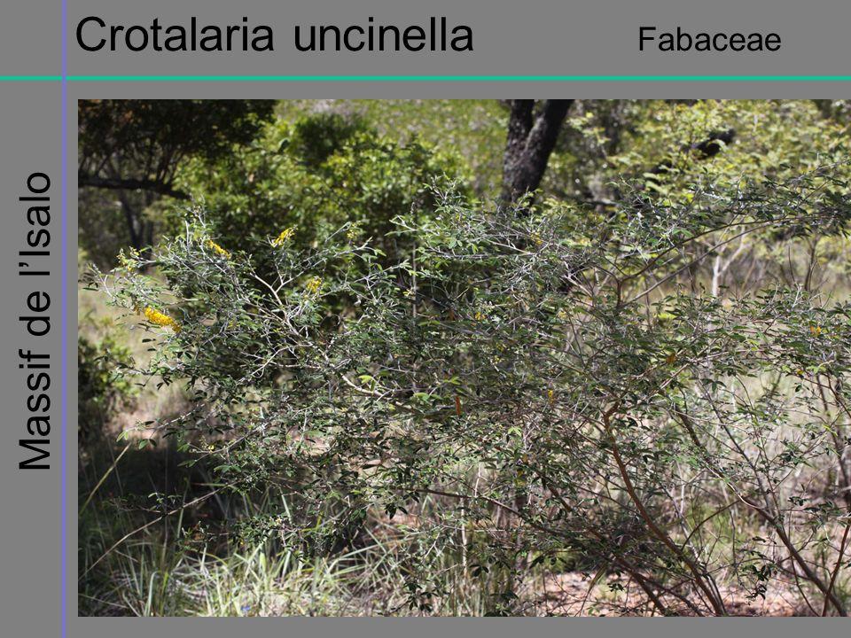 Crotalaria uncinella Fabaceae