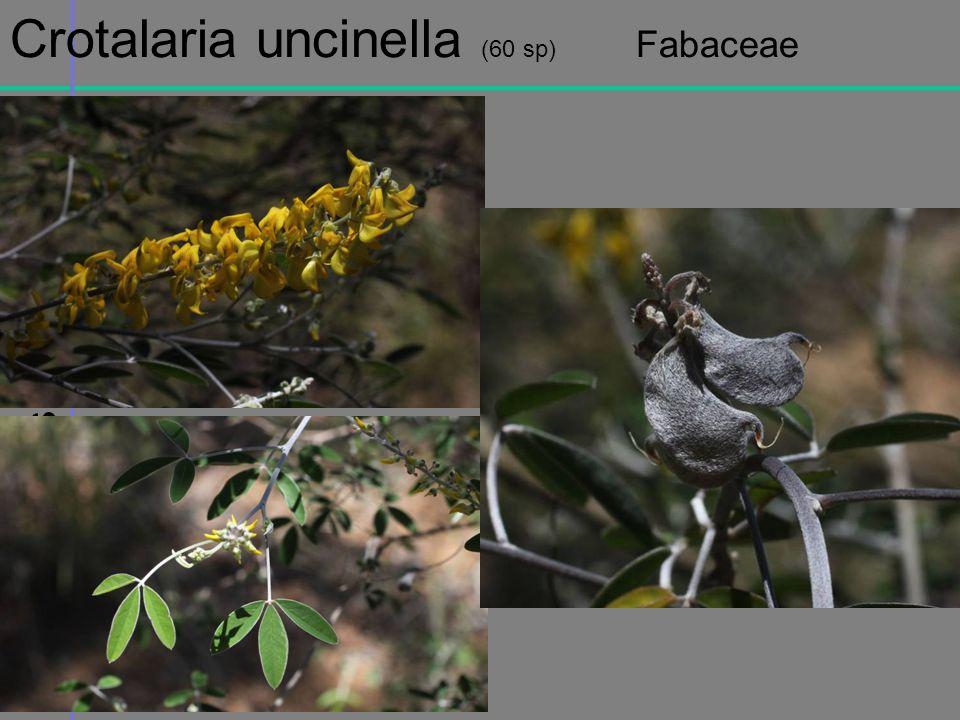 Crotalaria uncinella (60 sp) Fabaceae