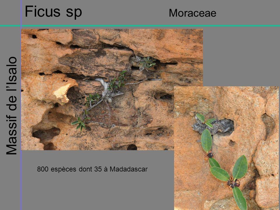 Ficus sp Moraceae Massif de l'Isalo 800 espèces dont 35 à Madadascar
