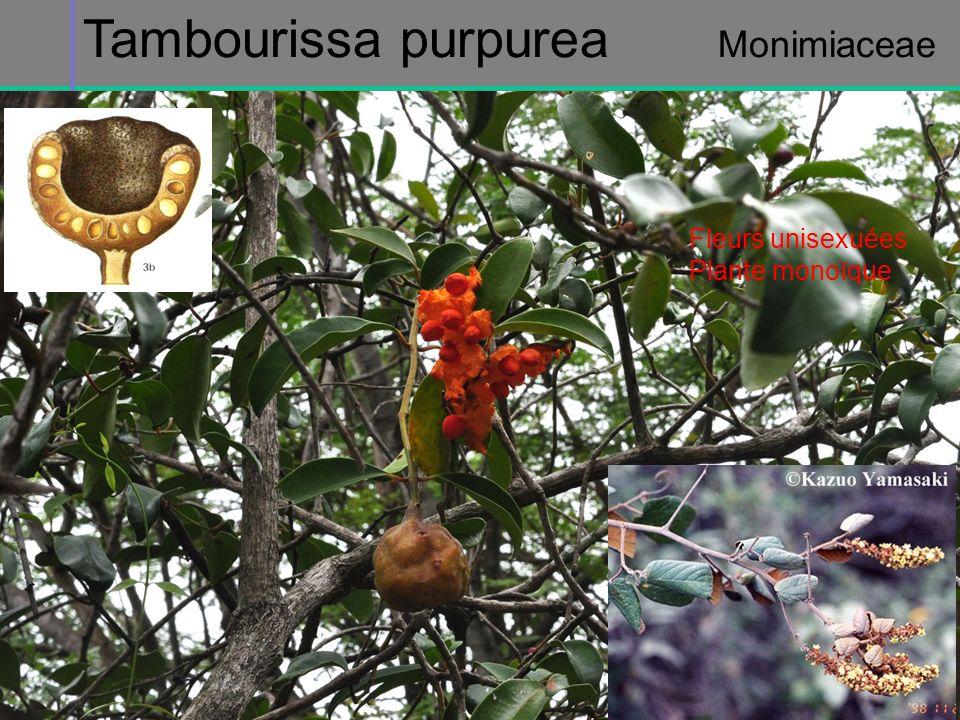 Tambourissa purpurea Monimiaceae