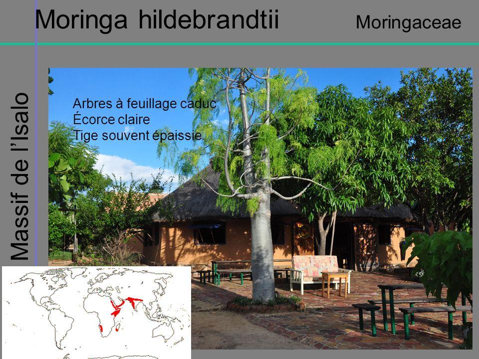 Moringa hildebrandtii Moringaceae