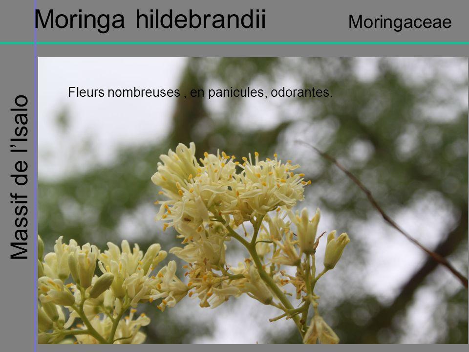 Moringa hildebrandii Moringaceae