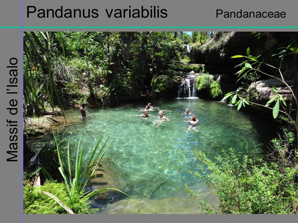 Pandanus variabilis Pandanaceae