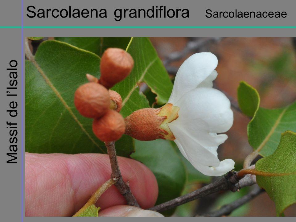 Sarcolaena grandiflora Sarcolaenaceae