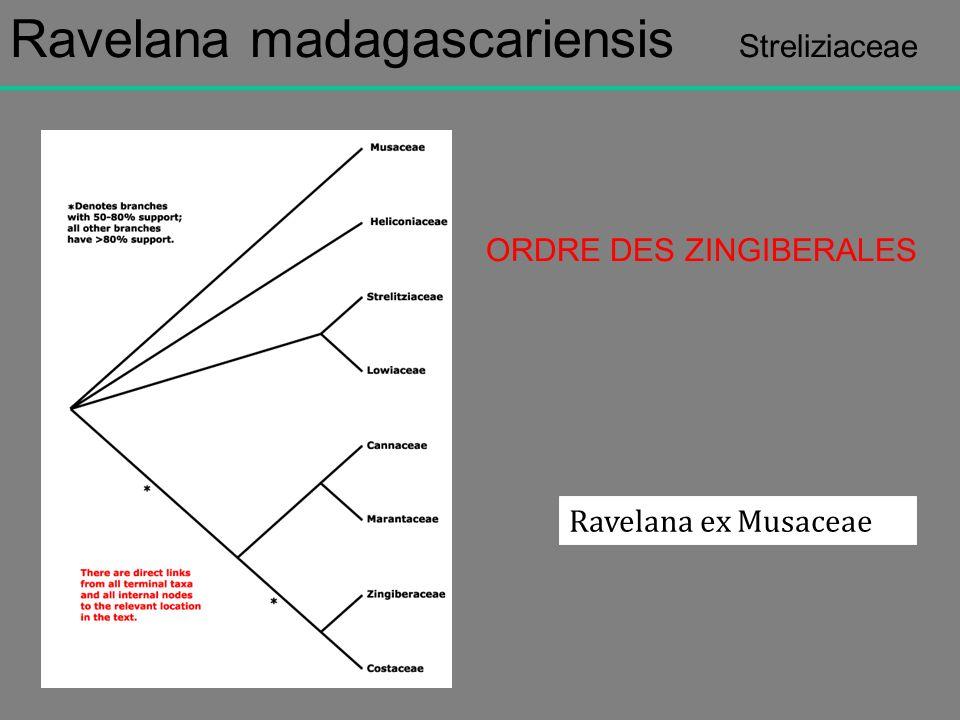 Ravelana madagascariensis Streliziaceae