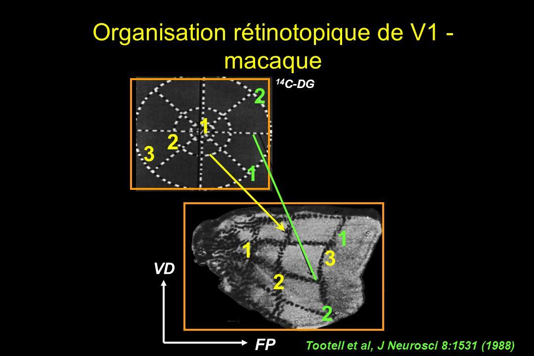 Organisation rétinotopique de V1 - macaque