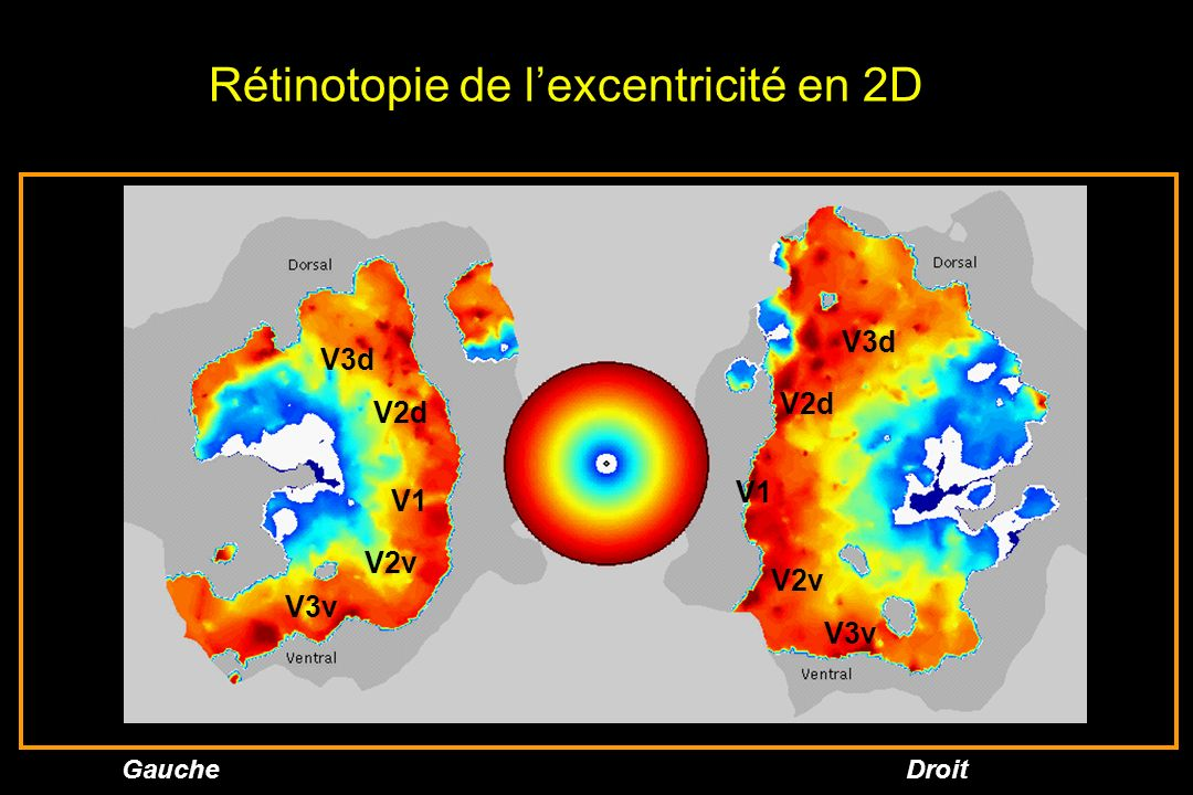 Rétinotopie de l'excentricité en 2D