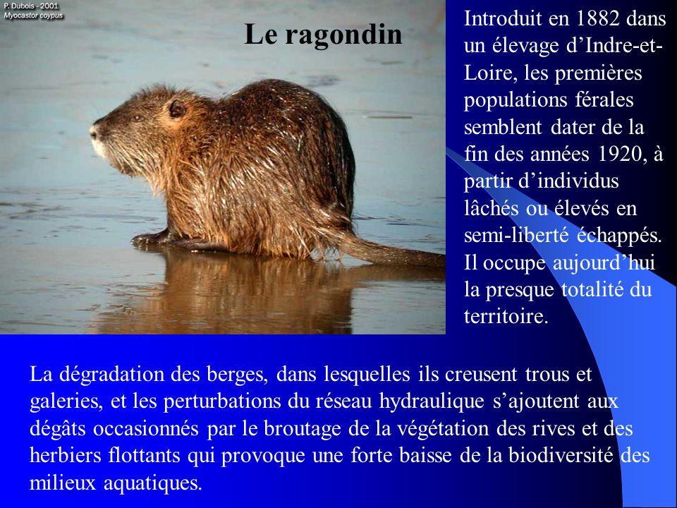 Introduit en 1882 dans un élevage d'Indre-et-Loire, les premières populations férales semblent dater de la fin des années 1920, à partir d'individus lâchés ou élevés en semi-liberté échappés. Il occupe aujourd'hui la presque totalité du territoire.