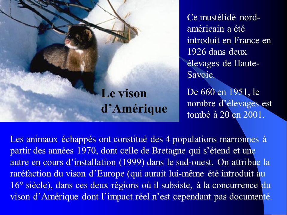 Ce mustélidé nord-américain a été introduit en France en 1926 dans deux élevages de Haute-Savoie.