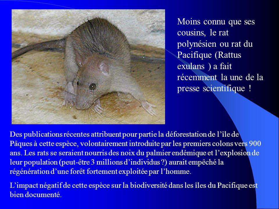Moins connu que ses cousins, le rat polynésien ou rat du Pacifique (Rattus exulans ) a fait récemment la une de la presse scientifique !