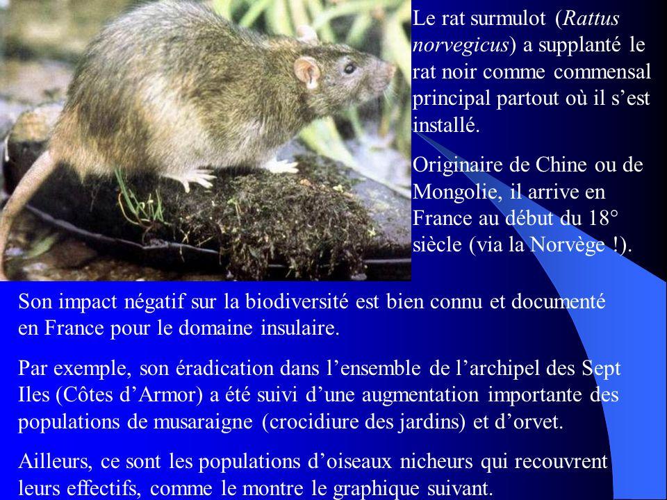 Le rat surmulot (Rattus norvegicus) a supplanté le rat noir comme commensal principal partout où il s'est installé.