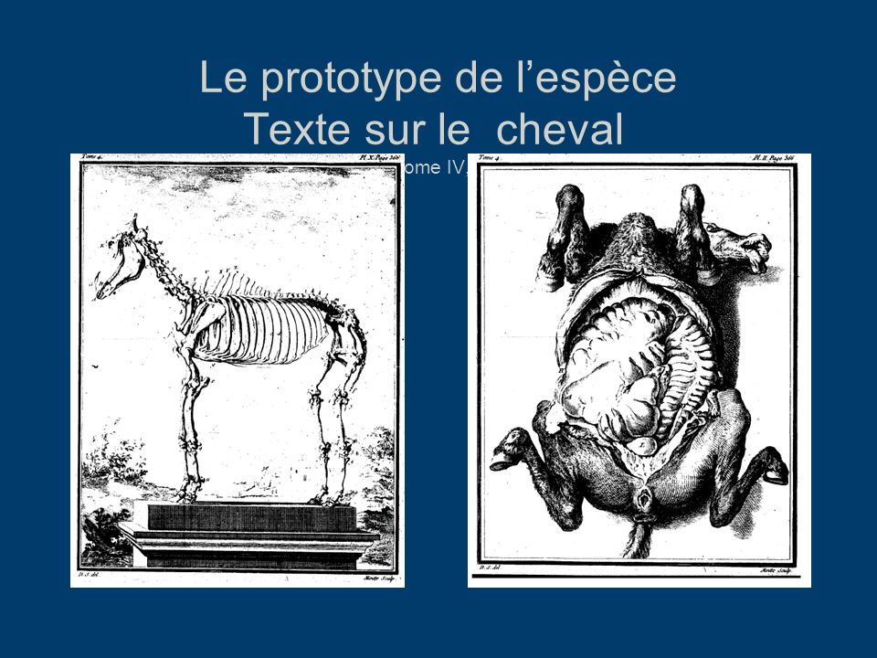 Le prototype de l'espèce Texte sur le cheval HN, Tome IV, 1753.