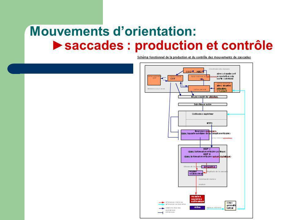 Mouvements d'orientation: ►saccades : production et contrôle