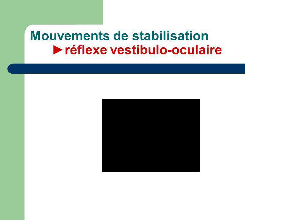 Mouvements de stabilisation ►réflexe vestibulo-oculaire